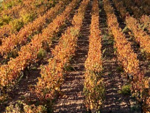 photo vigne automne 25